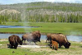 Diane Nieman - Yellowstone National Park